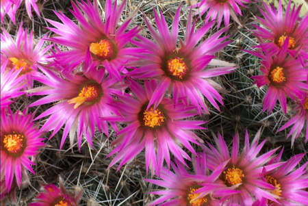 Escobaria vivipara with flowers from Texas - United States. Standard-Bild