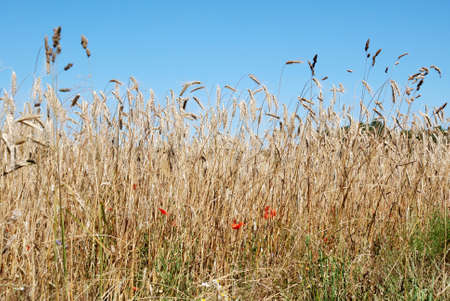 Field of rye with red poppies