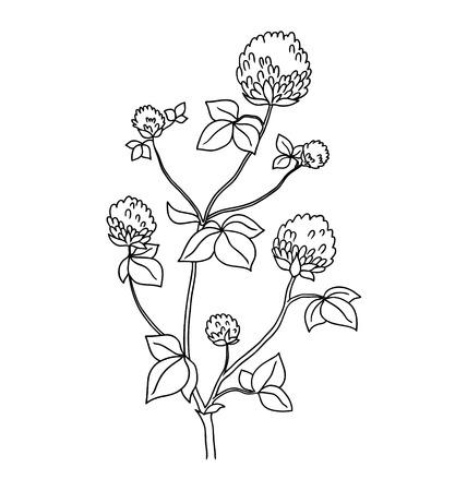 wild flower: Isolated on white clover flower. Wild flower - vector background.