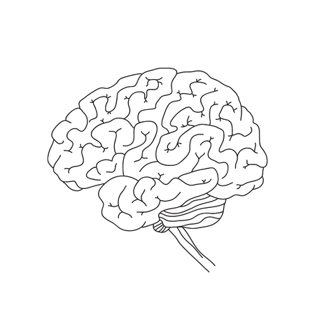 Vector illustration of human brain isolated on white background