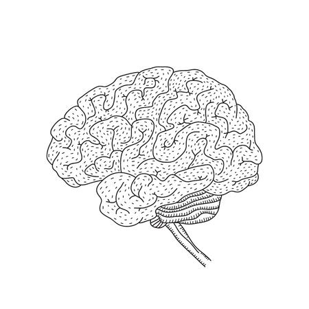Illustration of human brain isolated on white illustration.