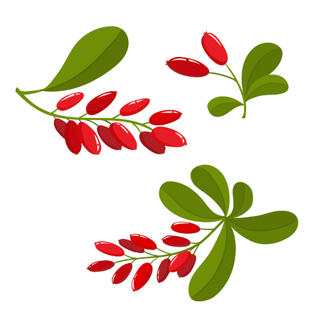 Set of cartoon barberry with green leaves isolated on white background. Bright berries and berries branch. Cute illustration used for magazine or book, poster and card design, menu cover, web pages. Illustration