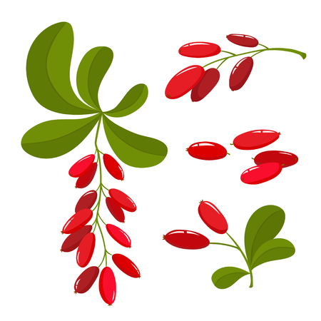 Set of cartoon barberry with green leaves isolated on white.