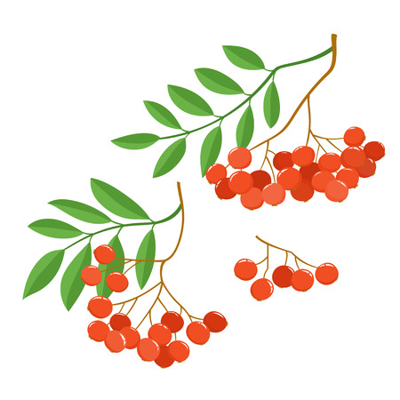 Branch of ashberries isolated on white. Set of color mountain ashes. Illustration