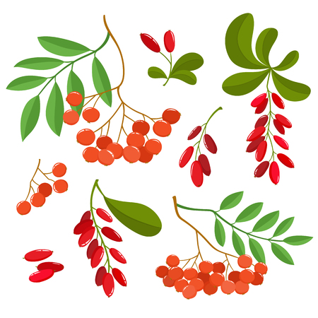 Branch of ashberries and barberries isolated on white. Set of color mountain ashes. Bright berries and berries branch. Cute illustration used for magazine or book, poster and card design, menu cover, web pages. Illustration