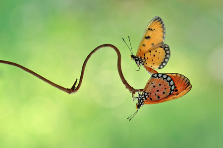 mating: Butterfly Mating