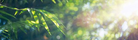Bamboo leaves, Green leaf on blurred greenery background. Beautiful leaf texture in sunlight. Natural background. close-up of macro with free space for text.