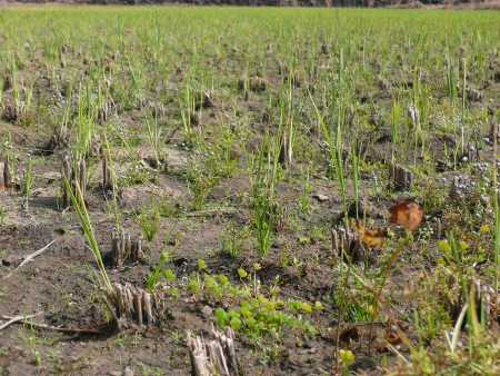 pune: Rice removed paddy field near pune  Stock Photo