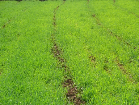 placidness: A close up of a nice green field in pune