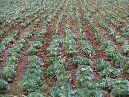 Cabbage field, pune, maharashtra, india  photo