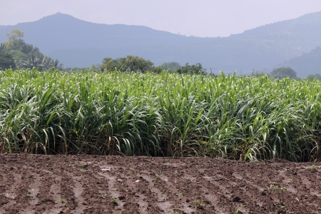 Sugar cane plantation on the field  photo