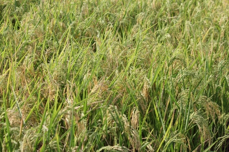 pune: Oryza sativa or Paddy in the Field near pune Stock Photo
