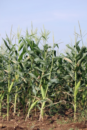 Cornfield,   Agriculture Stock Photo - 17521246