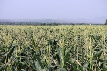 Cornfield,   Agriculture  Stock Photo - 17521210