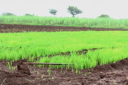 Paddy field Stock Photo - 17521368