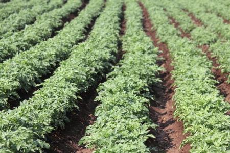 tuberosum: Potato plant, Potato Solanum tuberosum crop Stock Photo