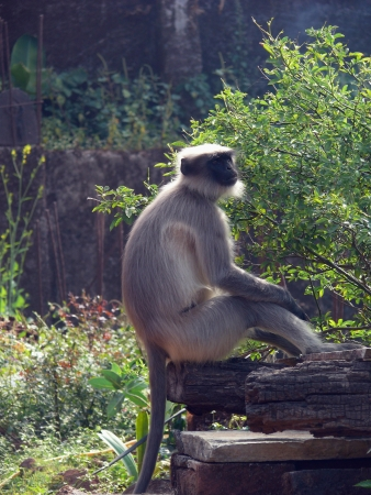White Langur With Black Face, monkey, bhimasanker, near pune  Stock Photo - 17521671