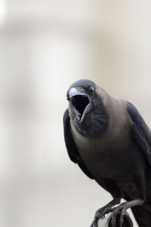 pune: Common Raven Corvus corax principalis adult, close-up of mouth ,in pune Stock Photo