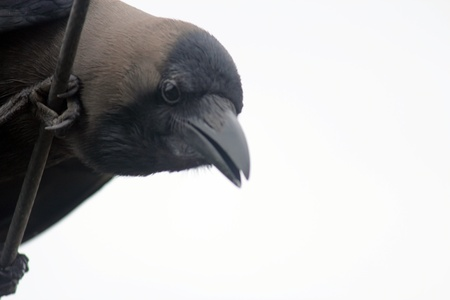 corax: Common Raven Corvus corax principalis adult, close-up of mouth ,in pune Stock Photo
