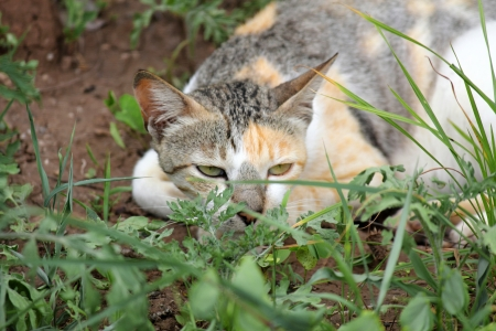 Domestic Cat behind grass  photo