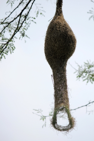 weaver bird nest: Baya weaver bird nest at a branch of the tree Stock Photo