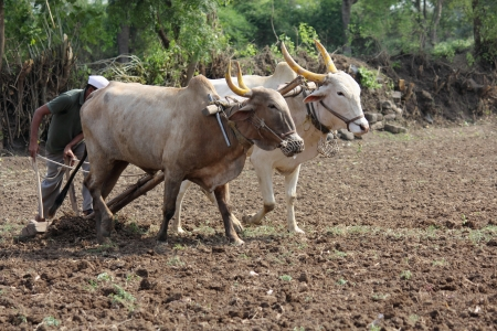 pune: Farmer ploughing his field with bull, pune, india. Stock Photo