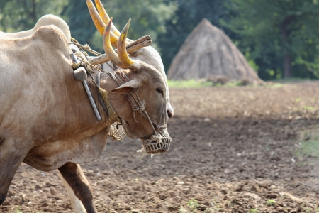 Farmer ploughing his field with bull, pune, india. Stock Photo - 17521667