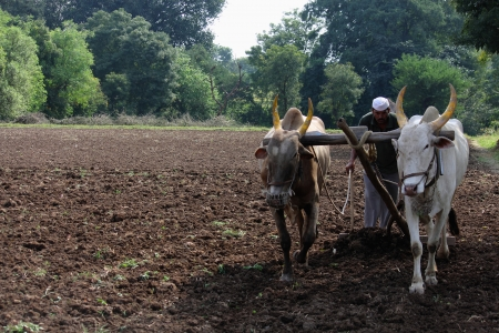 Farmer ploughing his field with bull, pune, india. Stock Photo - 17522299