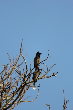 vented: Birds, red vented bulbul pycnonotus cafer sitting on branch, in pune, india