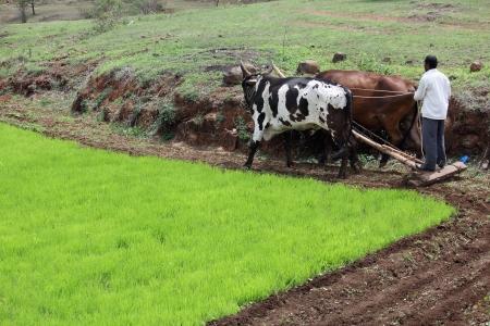 plough: Farmer plowing fields with Bull Ox