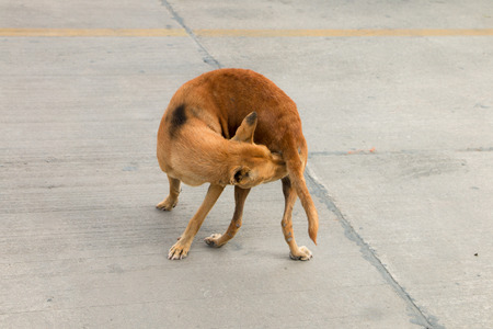 anus: Brown homeless dog itchy and try to bite anus itself.