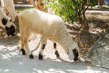 sheep eye: Sheep eating something
