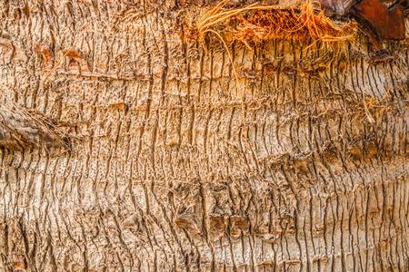 bark palm tree: Background texture of coconut bark palm tree Stock Photo
