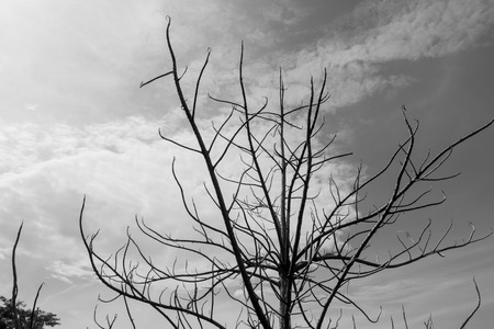 tree branches: Dead tree branches silhouette black and white background