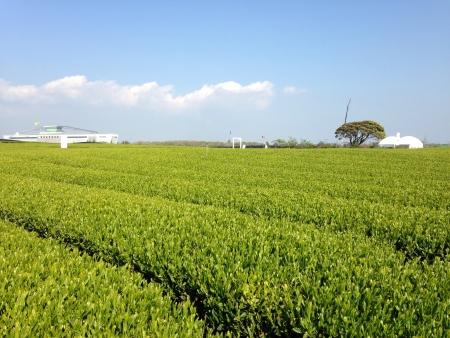 green tea fresh leaf in jeju island