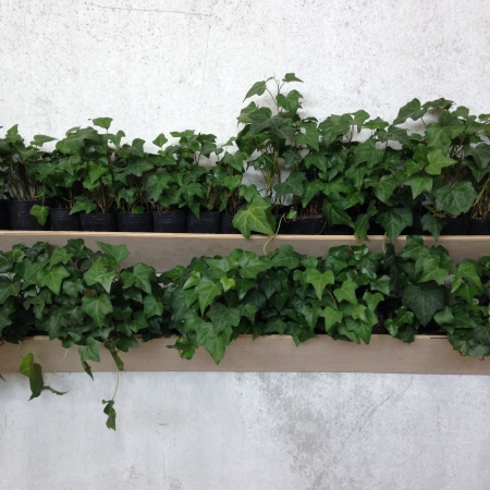 an ivy-covered wall