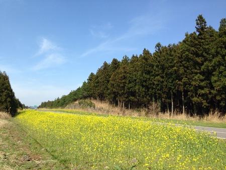 The rape flowers are in full bloom on jeju island