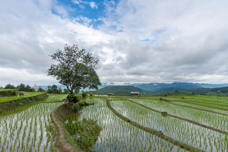 rice terrace: Isolated tree in the rice terrace.