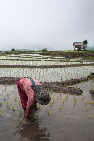 campesinas: Campesina tailandesa trasplanta plántulas de arroz en el arrozal.