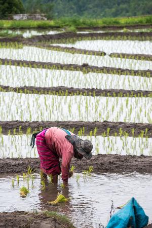 campesino: Campesina tailandesa trasplanta pl�ntulas de arroz en el arrozal.