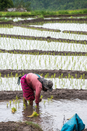 transplanted: Thai peasant woman transplanted rice seedlings in the rice paddy. Stock Photo