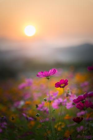 Widok pięknych kwiatów kosmosu w czasie zachodu słońca. Zdjęcie Seryjne