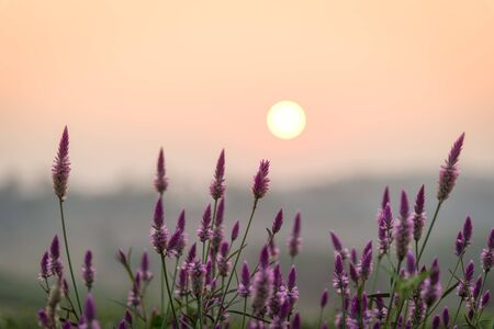 The scenery of the purple flowers in sunrise time.