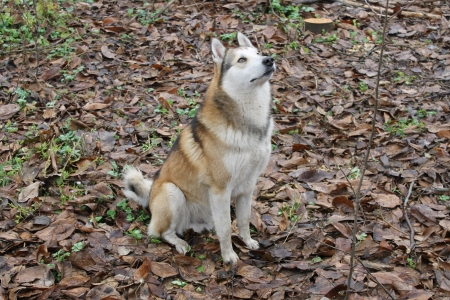 nature hunting dog Laika object nature animal photo