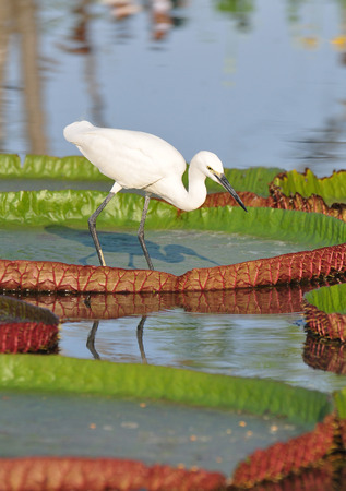 lily pad: Little Egret on Victoria Lily Pad.