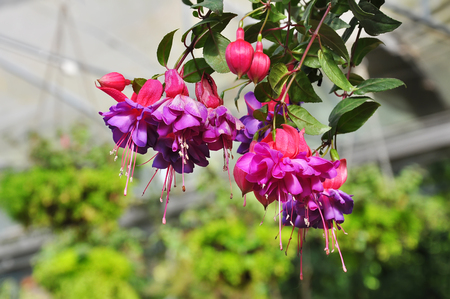 Fuchsia flower in the greenhouse.