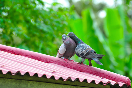 Animals Birds pair of lovely dove stand on pink roof.