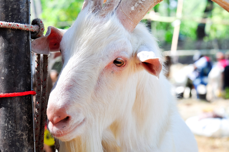 white goat with large horns and long beard in a farm.