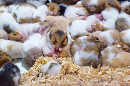 Hamster white brown and black color sleeping together as a group.