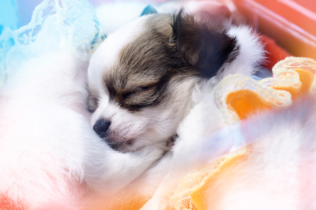 Chihuahua puppy sleeping happily under the warm blankets. Stock Photo